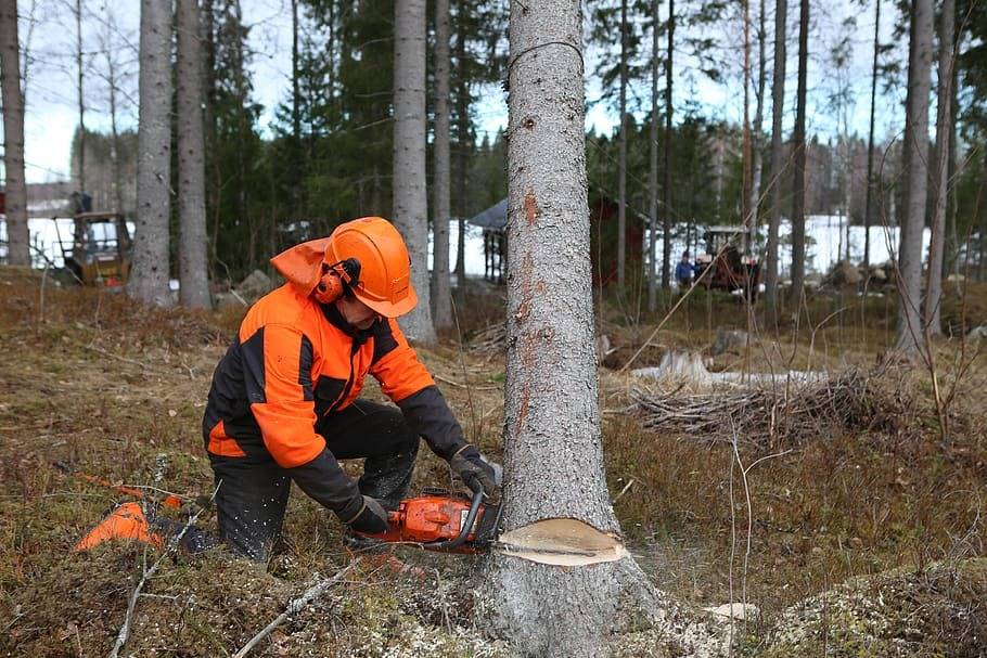 A man felling a tree with a chainsaw
